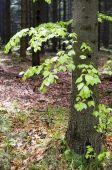 Buk drzewo na wiosnę — Zdjęcie stockowe