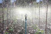 Water Sprinkler System Working on a Cucumber Plantation. — Stock Photo