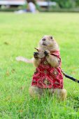Prairie dog in cloth standing on grass. — Stock Photo