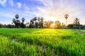 Rice field with palm tree backgrond in morning, Phetchaburi Thai — Stock Photo