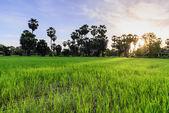 早上,碧武里泰国棕榈树背景稻田. — 图库照片