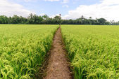 Rice field with pathway and blue sky, Suphan Buri, Thailand. — Stock Photo