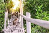 Crab-eating macaque monkey gaping on bamboo bridge in mangrove forest. — Stock Photo