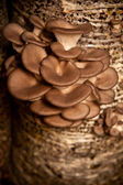 Oyster mushrooms grow on a substrate made of seeds husk — Stock Photo