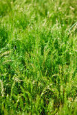 Herbage background, shallow depth of field — Stock Photo