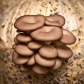 Funghi ostrica closeup — Foto Stock