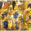Brush of blue grapes on a bush, shallow depth of field, collage — Stock Photo #62945587