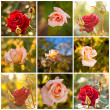 Buds and red tea rose, closeup, collage — Stock Photo #62945613