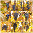 Brush of blue grapes on a bush, shallow depth of field, collage — Stock Photo #62945635