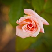 Bud of tea-rose on the bush, shallow depth of field — Stock Photo