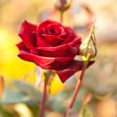 Burgundy rose on the bush, shallow depth of field — Stock Photo