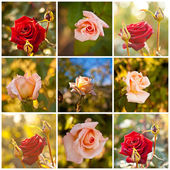 Buds and red tea rose, closeup, collage — Stock Photo