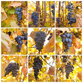 Brush of blue grapes on a bush, shallow depth of field, collage — Stock Photo