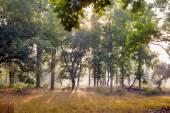 Sis ve şafakta ağaçlarda Bandhavgarh Milli Parkı, Hindistan — Stok fotoğraf