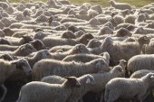 Sheeps in an urban park in Rome, Italy — Stock Photo