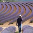 Walking in the lavender — Stock Photo #69384905