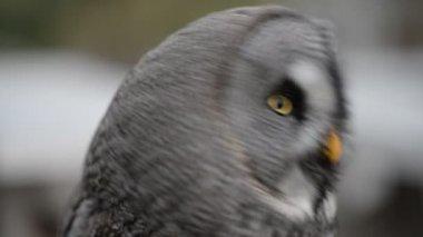 Ural owl looking around — Stock Video