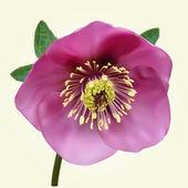 Purple Helleborus flower — Stock Vector