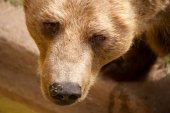 Brun björn ansikte på nära håll — Stockfoto