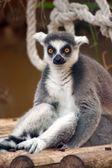 Sitting ring-tailed lemur (lemur catta) — Stock Photo