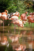 A flock of pink flamingos and reflection in the water. — Stock Photo
