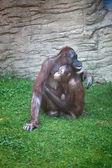Mother chimpanzee caress her child — Stock Photo