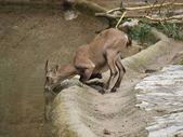 Ibex mountain or alpine (Capra ibex) — Stock Photo