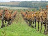 Autumn in the vineyard, Lower Austria — Stock Photo