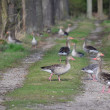 Wild geese on a forest path, South Bohemia — Stock Photo #72774623