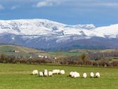 Sheep grazing near Unza — Stock Photo
