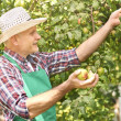 Gardener harvesting apples — Stock Photo #76162693