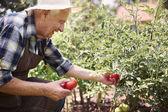Älterer ernten Gemüse Zuschneiden — Stockfoto