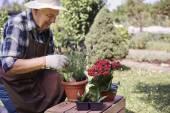Senior man replanting flowers — Stock Photo