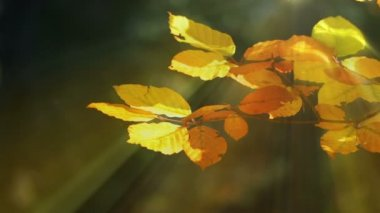 Autumn Beech Leaves and Sun Rays — Video Stock