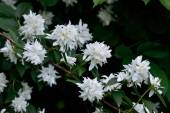 Flowering Syringa (Philadelphus) — Stock Photo