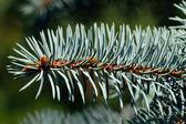 Needles of blue spruce — Stock Photo