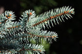 Sprig of blue spruce — Stock Photo