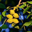 Постер, плакат: Fruits of a walnut Juglans regia