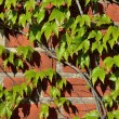 Wild grapes on the ancient wall — Stock Photo #61515613