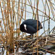 Coot sits on the nest — Stock Photo #68711605