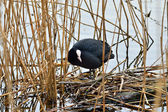 Coot sits on the nest — Стоковое фото