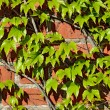Wild grapes on old brick wall — Stock Photo #69772333