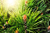 Pinus mugo backlit — Stock Photo