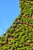 Wild grapes on the old brick wall — Stock Photo