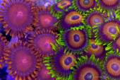 Contrasing zoanthids — Stock Photo