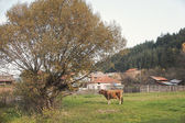 Cow and tree — Stock Photo