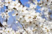 Blooming branch of cherry tree. — Stock Photo