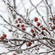 Hawthorn berries under heavy snow and ice — Stock Photo #60244609