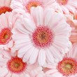 Pink gerbera daisies — Stock Photo #60394363