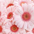 Pink gerbera daisies — Stock Photo #60394389